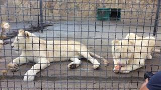 Молодые белые львы  Редкая красота